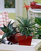 Aloe saponaria u. brevifolia / Aloe-Hybriden in Vierecktöpfen