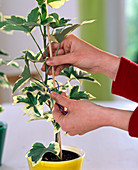 Fatshedera lizei 'Pia' / Efeuaralie, junge Pflanze anbinden, damit