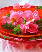 Rosa rugosa / Kartoffelrose (Apfelrose) in Schale mit Wasser
