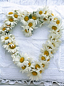 Herz aus Leucanthemum / Frühlingsmargeriten auf weißem