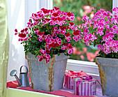 Pelargonium Angeleyes 'Viola' und 'Burgundy' / Engelsgeranien in