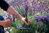 Lavendelernte: Lavandula / Lavendel zum trocknen in voller Blüte