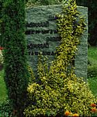 Grabstein bewachsen mit Euonymus fortunei 'Emerald'n Gold' (Kletter - Spindel