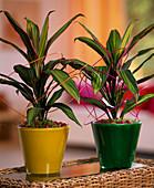 Cordyline 'Kiwi' / Keulenlilie im gelben und grünen Glastopf