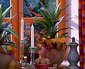 Cordyline fruticosa 'Kiwi' (Keulenlilie), Juglans (Walnüsse), runde Tonübertöpfe