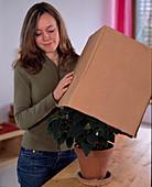 Euphorbia pulcherrima / Weihnachtsstern wird durch Verdunkel-
