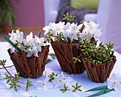 Tontöpfe mit Zimtstangen beklebt, Narcissus 'Ziva' / Tazett-Narzissen, Eucalyptu