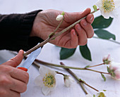 Helleborus niger / Christrose als Schnittblume