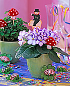 Saintpaulia ionantha 'Rokoko' / Usambaraveilchen mit lila Rand,