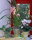 Cymbidium / Kahnorchidee