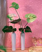 Grüne Blüten der Flamingoblume in Flaschen