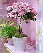 Rhododendron simsii (Azaleenstämmchen)