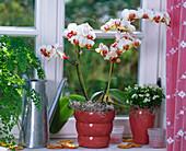 Phalaenopsis (Malayenblume),