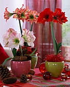 Hippeastrum 'Apple Blossom' - 'Red Lion' - 'Sternrot' (Amaryllis) mit Zapfen, Ba