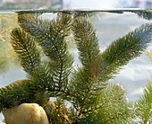 Ceratophyllum demersum (Hornkraut)