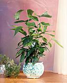 Caryota mitis (Fischschwanzpalme)