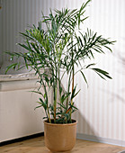 Chrysalidocarpus lutecens