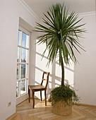 Cordyline australis (Keulenlilie) an Terrassentür