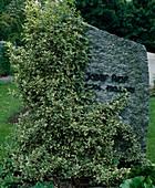 Grabstein mit Euonymus fortunei 'Gracilis' (Kriechspindel)