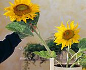 Helianthus annuus / Sonnenblume