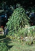 Alter Grabstein mit Hedera (Efeu) überwuchert