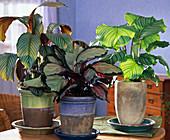 Calathea orbifolia, picturata und C. 'Exotica' (Korbmaranten)