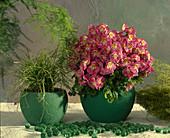 Schizanthus-wisetonensis-Hybride