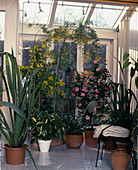 PHORMIUM TENAX, Camellia JAPONICA, SARCOCOCCA ruscifolia