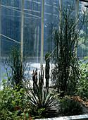 Wintergarten mit EUPHORBIA tirucalli