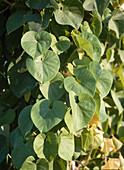 ARISTOLOCHIA Moupinensis (CHINESISCHE PFEIFFENWINDE)