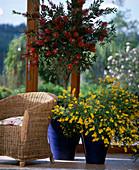 Wintergarten mit Callistemon citrina / Zylinderputzer