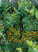Vitis vinifera / Weintraube, Eschscholtzia californica / Schlaf-
