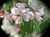 Malus (Apfelblüte)