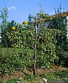 Spalierbaum als Abgrenzung zum Nachbargrundstück