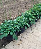 Kartoffeln (Solanum tuberosum) in großen Containern anbauen
