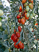 Tomate 'Serafino' - Cocktailtomate