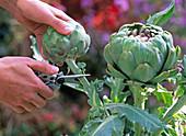 Cynara scolymus / Artischocke ernten, bevor sich Blüte öffnet