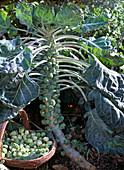 Brassica gemmifera
