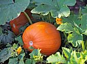 Cucurbita (squash), orange in the bed