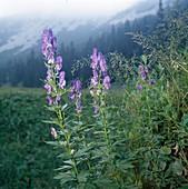 Aconitum napellus (Blauer Eisenhut) am Naturstandort