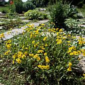 Arnica chamissonis ssp. foliosa - Amerikanische Arnika