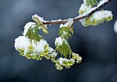 Verschneite Blüten von Acer platanoides (Spitzahorn)