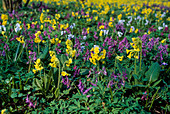 Frühlingswiese : Primula veris (SCHLÜSSELBLUMEN) UND CORYDALIS Solida (Gefingerter Lerchensporn)