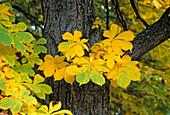 Aesculus (Roßkastanie), Herbstfärbung