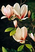 Magnolia soulangeana (Tulpenmagnolie)