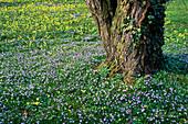 Frühlingswiese mit verwilderten SCILLA (Blausternchen) UND Primula veris (SCHLUESSELBLUMEN)