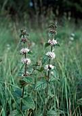 Acker-Minze (Mentha arvensis), die Verwendung ist wie bei Pfefferminze : als Teekraut bei Verdauungsbeschwerden, Erkältungen und Kopfschmerzen