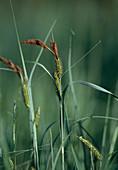 Segge, Schnabelsegge, Carex rostrata