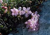 Rhodothamnus Chamaecistus Zwerg-Alpenrose