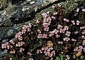 Loiseleuria procumbens, Syn. Kalmia procumbens - Gemsheide, auch Alpenazalee, Alpenheide, Hirschheiderich oder Felsenröschen genannt